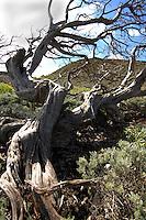 Twisted tree shape sabinas, El Hierro, Canary Islands, Spain.