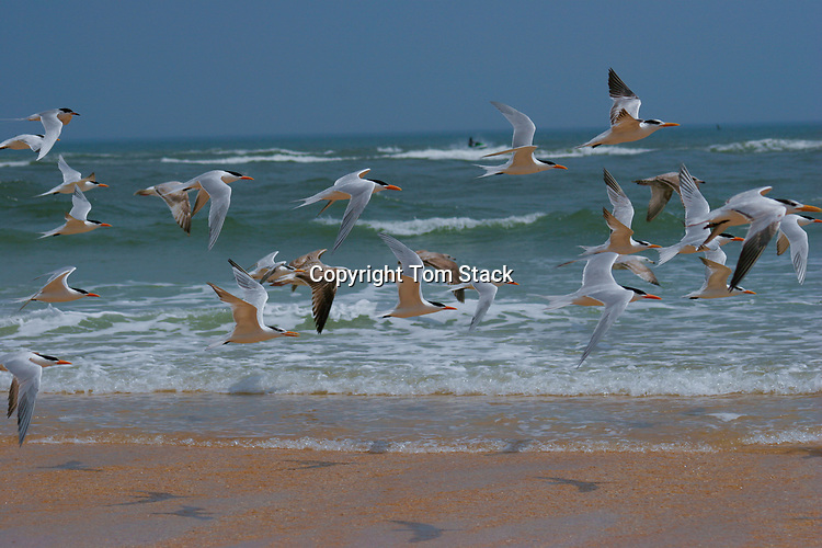 A flock of terns on a Florida beach