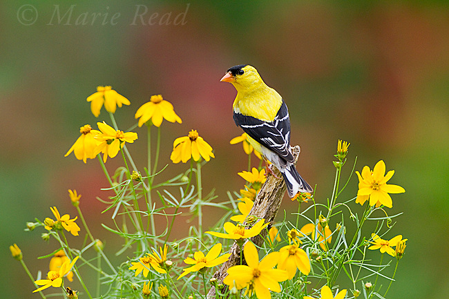 American Goldfinch (Carduelis tristis) male, perched amid Threadleaf Coreopsis flowers in summer, New York, USA