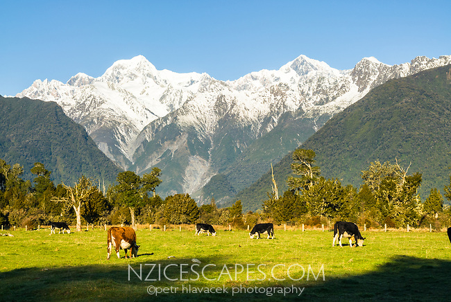 Farmland near Lake Matheson and Fox Glacier village  with Mt. Tasman and Aoraki Mt. Cook in background, Westland Tai Poutini  National Park, West Coast, New Zealand, NZ