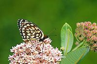 03325-00406 Regal Fritillary butterfly (Speyeria idalia) on Common Milkweed (Asclepias syriaca) Sand Prairie-Scrub Oak Nature Preserve, Mason Co.  IL