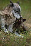 Gray wolf and pup, Montana