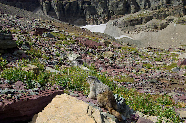 Hoary Marmot (Marmota caligata).  Glacier National Park, Montana.  Fall.