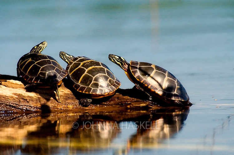 Three painted turtles sunning on a log. This image would make a great conference room enlargement.