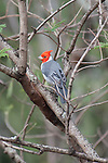 Red Crested Cardinal from the Island of Kauai