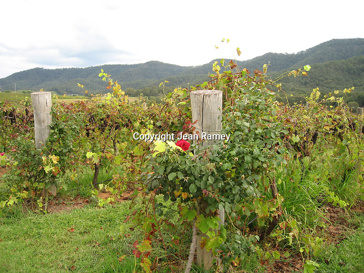 Vineyards, Hunter Valley wine country, Australia