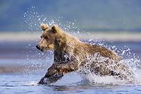 Racer at Hallo Bay. Kodiak grizzly bears (Ursus arctos middendorffi)