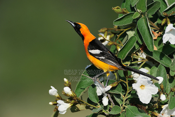 Hooded Oriole (Icterus cucullatus), male singing on Mexican Olive tree (Cordia boissieri), Laredo, Webb County, South Texas, USA