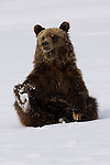 Grizzly Bear sitting in snow in Grand Teton National Park, Wyoming.