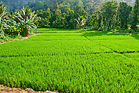Rice paddies, Sumatra, Indonesia