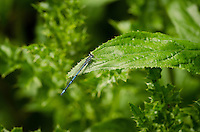 Azure Damselfly {Coenagrion puella} Cleaning Front Limbs