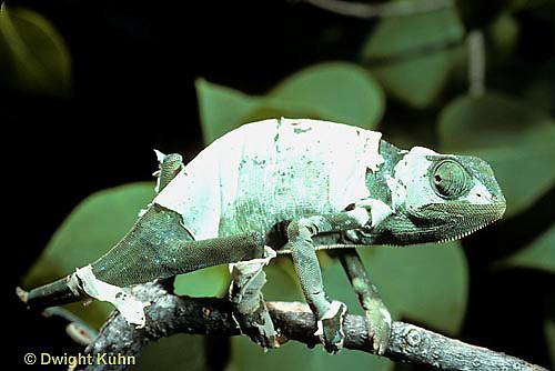 CH09-001z  African Chameleon - molting skin - Chameleo senegalensis