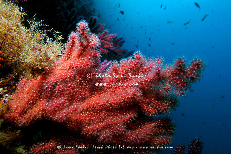 Red gorgonian (Alcyonium palmatum) on a coral reef, Caramasaigne, Riou Island, Marseille, France.