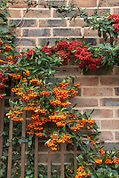 Pyracantha on brick wall with thick berries fruit, red and orange fruits together, two different kinds of firethorn in berry