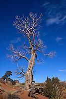 DESERT FLORA<br /> Juniper Tree, Juniperus sp<br /> Joshua Tree NP, CA