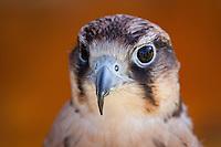 Rhode Island Audubon Raptor festival