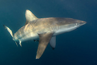 Bronze Whaler Shark, Carcharhinus brachyurus, aka copper shark. Sardine Run, Port Saint Johns, Wild Coast, South Africa.