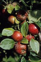 Europe/France/Bretagne/22/Côtes d'Armor/Pleudihen-sur-Rance: Les pommes à cidre