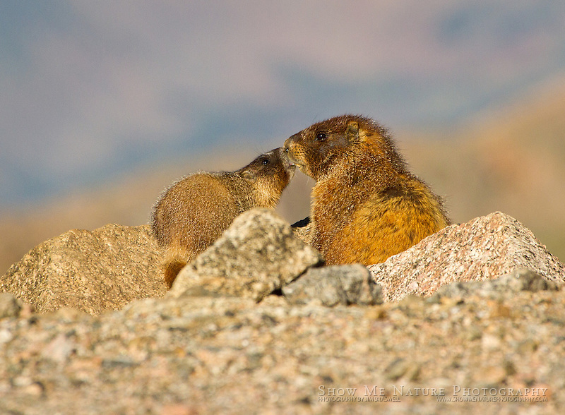 Yellow-bellied marmots, a pup looking for attention from mom