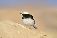 Hooded Wheatear - Oenanthe monacha
