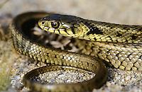 Ringelnatter, Ringel-Natter, Natter, Unterart Streifen-Ringelnatter, Streifenringelnatter, Natrix natrix persa, grass snake, Griechenland