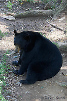 1021-1001  American Black Bear, Ursus americanus  © David Kuhn/Dwight Kuhn Photography