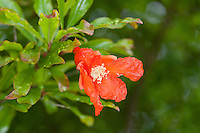 Granatapfel, Granat-Apfel, Grenadine, Punica granatum, pomegranate