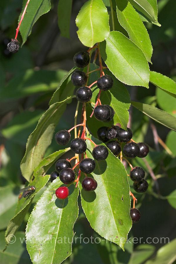 Späte Traubenkirsche, Früchte, Trauben-Kirsche, Prunus serotina, American Bird Cherry, Black Cherry, Cerisier tardif