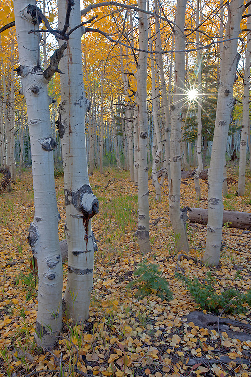 Golden quaking aspen (Populus tremuloides) grove in the Saddle Mountain Wilderness area in the Kaibab National Forest, Arizona, USA