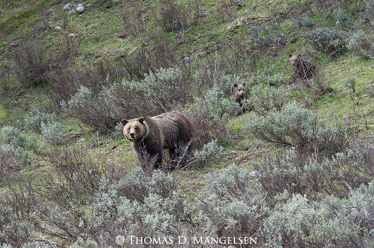Grizzly bear cubs follow their mother (grizzly 610) through sagebrush in Grand Teton National Park, Wyoming.