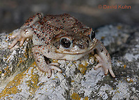 1101-0805  Adult Red-spotted Toad (Southwestern United States), Anaxyrus punctatus, formerly Bufo punctatus  © David Kuhn/Dwight Kuhn Photography.