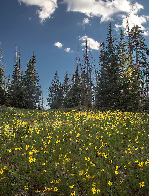 Little sunflowers bloom at Cedar Breaks National Monument in Southern Utah