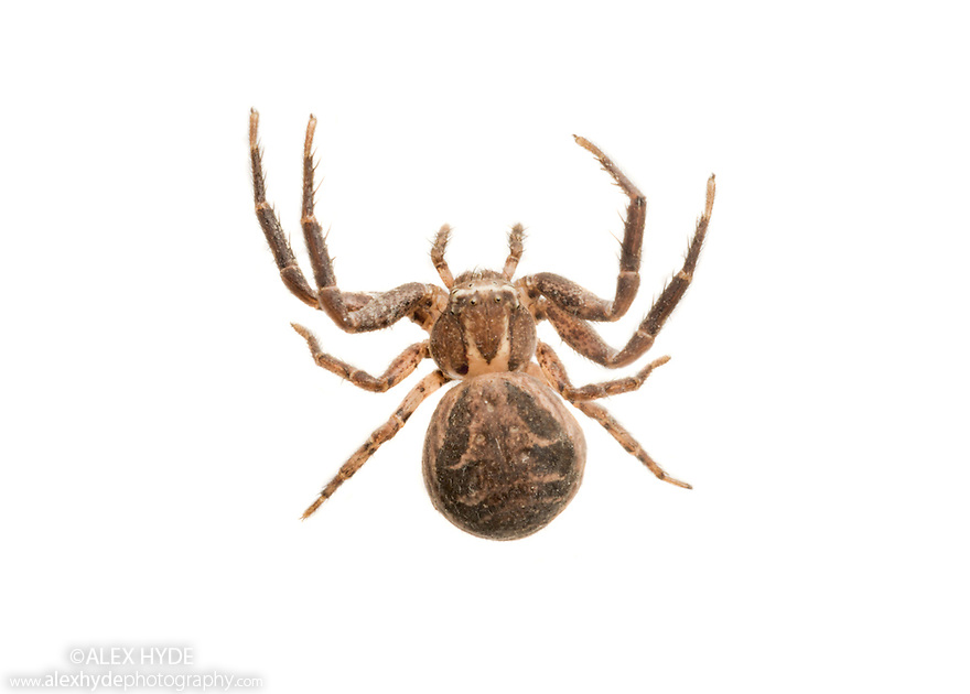 Crab spider {Xysticus cristatus} photographed on a white background in mobile field studio