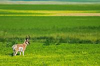 Pronghorn (Antilocapra americana) in canola field, Robsart, Saskatchewan, Canada