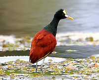 Adult northern jacana