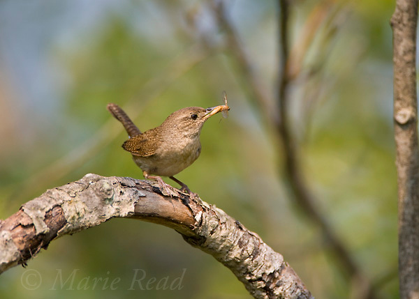 House Wren (Troglodytes aedon) bringing food to feed its young, Ithaca, New York, USA