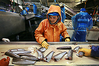Luis Merino examines fish to ensure both heads and tails have been removed by processing machinery before it moves down the line at Ocean Gold fish processing in Westport, Washington.