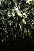 Apr. 08, 2010; Kyoto, Japan - Bamboo walkway in Arashiyama.