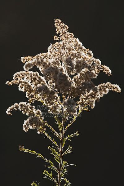 Tall Goldenrod (Solidago altissima), seed stand, North Carolina, USA