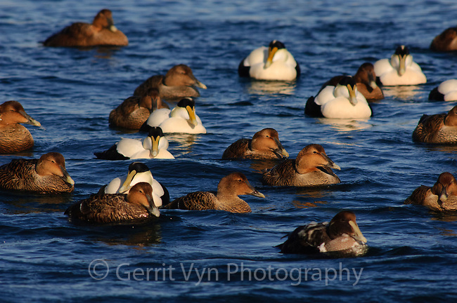 Flock of Common Eider (Somateria mollissima) of the eastern subspecies S. m. dresseri. Gloucester, Massachusettes. March.