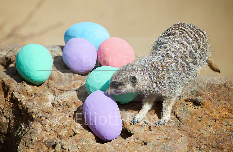 Meerkats' Easter surprise <br /> Animals enjoy egg-citing Easter hunt at ZSL London Zoo, Rehents Park, London, Great Britain <br /> 13th April 2017 <br /> <br /> Robbie (aged 6) with some Easter Eggs he found. <br />  <br /> Zookeepers have shelled out on an egg-stravagant surprise for ZSL London Zoo&rsquo;s meerkat mob to enjoy &ndash; as they get ready to celebrate the Easter weekend.<br /> .<br />  <br /> Zookeeper Veronica Heldt, said: &ldquo;While there will be no chocolate for our inquisitive meerkats, we&rsquo;ve prepared an Easter egg hunt for the clan.<br />  <br /> &ldquo;This will encourage them to seek out treats hidden in the foliage and forage for food, mimicking how they would seek their food in the wild.<br /> <br /> <br /> Photograph by Elliott Franks <br /> Image licensed to Elliott Franks Photography Services