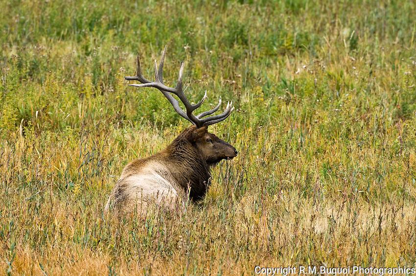 Bull Elk in Yellowstone National Park