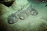 eastern fiddler rays, Trygonorrhina sp., on ocean bottom at night, South Australia, Great Australian Bight