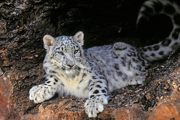 Snow Leopard young. Central Asia, from Northwest China to Tibet & the Himalayas..Rare & Endangered. (Panthera uncia).