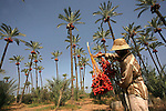 A Palestinian farmer harvests dates from palm trees during harvest in Deir al-Balah in the central Gaza Strip Sept. 28, 2010 . Photo by Ashraf Amra