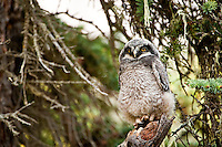 Northern Hawk Owlet, Alberta, Canada