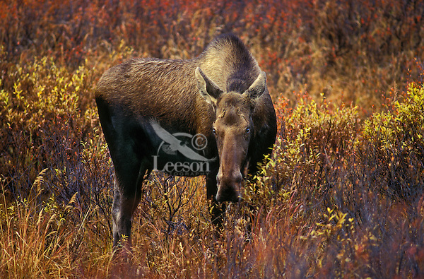 COW MOOSE (Alces alces) in fall tundra feeding on birch and willows..Denali National Park, Alaska.