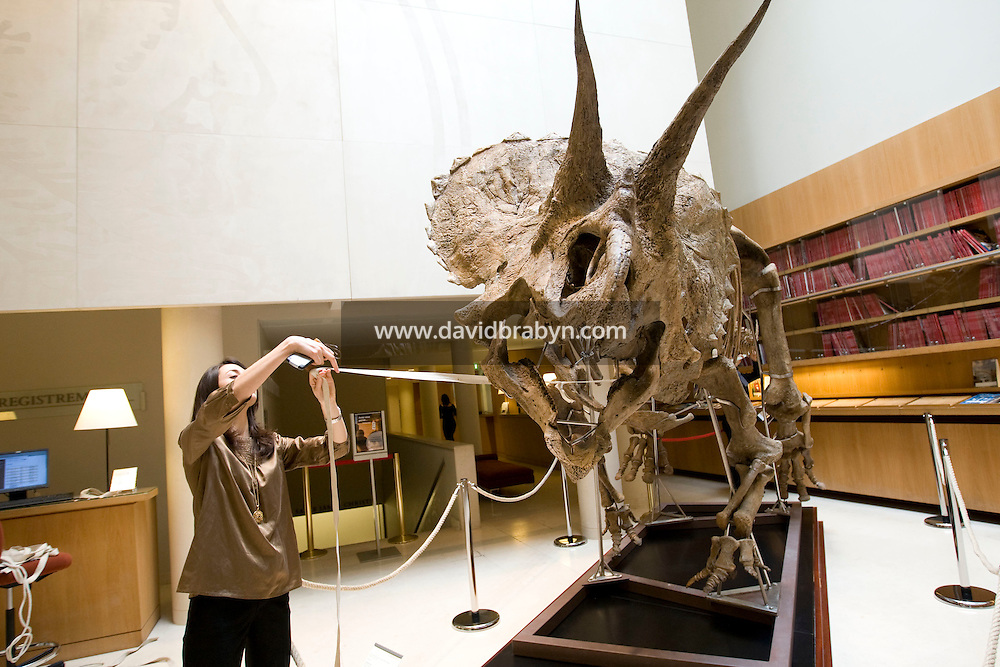 A Christie's employee helps measure the skeleton of a Triceratops horridus on display at Christie's auction house in Paris, France, 13 March 2008, ahead of its sale next month. The 65 to 67-million-year-old dinosaur, found in North Dakota, USA, is expected to fetch 500,000 euros on April 16th.
