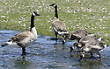 Family of Canada Geese, adult birds and goslings, drinking at a stream. Stock photo, Olympic Photo Group