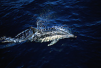 Common dolphin, Delphinus delphis, travel in huge fast moving groups that can exceed one thousand individuals. Australia